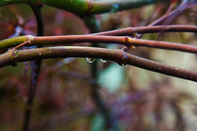 rain drops, branch